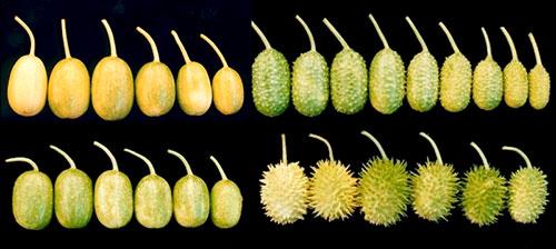 Amostra de várias cultivares de maxixe Imagem Original: Secretaria de Agricultura e Abastecimento do Estado de São Paulo